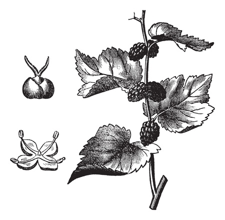 Black mulberry (Morus nigra), vintage engraved illustration. Trousset encyclopedia (1886 - 1891). Vector