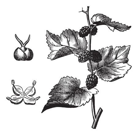 morera: Negro morera (Morus nigra), cosecha ilustraci�n grabada. Enciclopedia Trousset (1886 - 1891).
