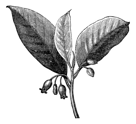 Nutmeg (Myristica fragrans), vintage engraved illustration. Trousset encyclopedia (1886 - 1891). Illustration