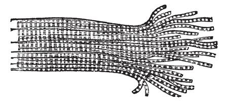 gönüllü: Human Muscle Fiber showing Fibrils (right), vintage engraved illustration. Trousset encyclopedia (1886 - 1891).