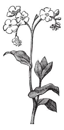 not: Agua Forget-me-not o True Forget-me-not o scorpioides Myosotis, vintage grabado ilustraci�n. Enciclopedia Trousset (1886 - 1891).