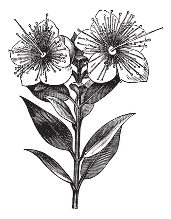 herbology: Myrtle or Myrtus communis, vintage engraved illustration. Trousset encyclopedia (1886 - 1891). Illustration