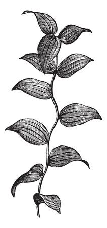 horticultural: African Asparagus Fern or Asparagus asparagoides, vintage engraved illustration. Trousset encyclopedia (1886 - 1891).