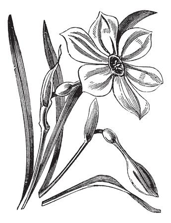 Poet's Daffodil of Narcissus poeticus, vintage gegraveerde illustratie. Trousset encyclopedie (1886 - 1891). Stock Illustratie