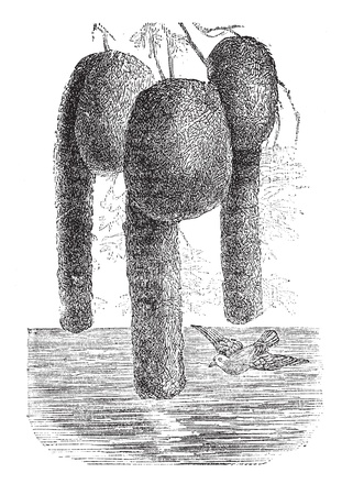 weaver bird nest: Nelicourvi Weaver or Ploceus nelicourvi, vintage engraved illustration. Trousset encyclopedia (1886 - 1891).