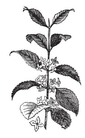 herbology: Buckthorn or Rhamnus cathartica, vintage engraved illustration. Trousset encyclopedia (1886 - 1891).