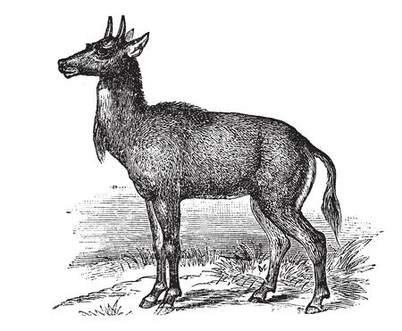 Nilgai or Nilgau or Boselaphus tragocamelus, vintage engraved illustration. Trousset encyclopedia (1886 - 1891).