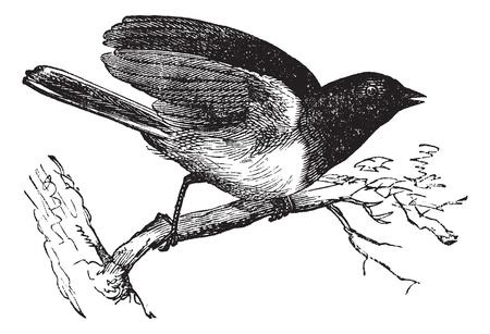 terrestre: Dark-eyed Junco o Junco hyemalis, vintage illustrazione inciso. Trousset enciclopedia (1886 - 1891). Vettoriali