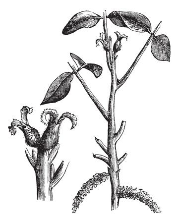 Walnut or Juglans sp. showing flowers (left), vintage engraved illustration. Trousset encyclopedia (1886 - 1891). Vector