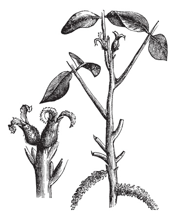 Walnut or Juglans sp. showing flowers (left), vintage engraved illustration. Trousset encyclopedia (1886 - 1891).
