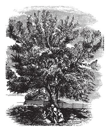 horticultural: Eastern Black Walnut or Juglans nigra, vintage engraved illustration. Trousset encyclopedia (1886 - 1891). Illustration