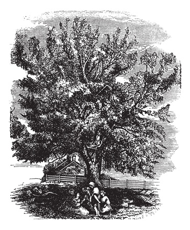 Eastern Black Walnut or Juglans nigra, vintage engraved illustration. Trousset encyclopedia (1886 - 1891). Ilustração