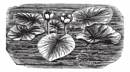 Yellow Water-lily or Nuphar lutea, vintage engraved illustration. Trousset encyclopedia (1886 - 1891). 向量圖像
