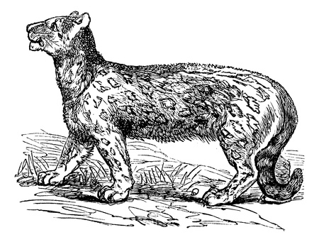 panthera: Snow leopard, Uncia uncia, Leopardus uncia or Panthera uncia, vintage engraved illustration. Trousset encyclopedia (1886 - 1891). Illustration