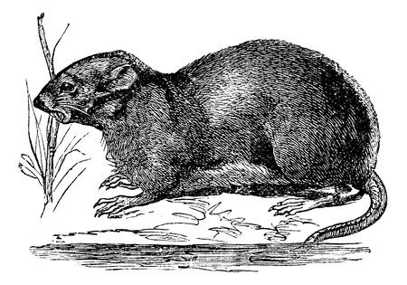 muskrat: Ondatra, Fiber zibethicus or Muskrat,, vintage engraved illustration. Trousset encyclopedia (1886 - 1891).