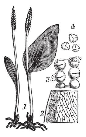 spores: Ophioglosse. - 1. Whole plant. - 2. Part of frond. - 3. Sporangia. - 4. spores, vintage engraved illustration. Trousset encyclopedia (1886 - 1891).