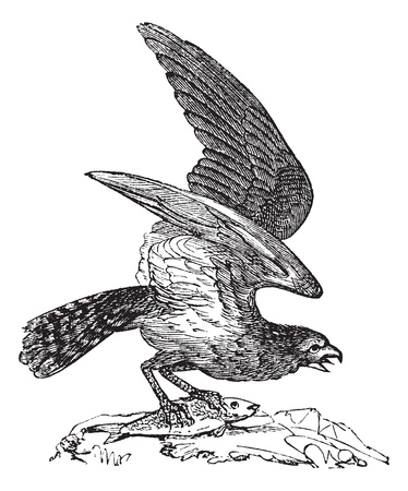 prey: Osprey of America, Pandion carolinensis, fish eagle or sea hawk, vintage engraved illustration, Trousset encyclopedia (1886 - 1891). Illustration