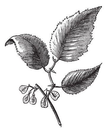 Slippery elm or Ulmus fulva, isolated on white, vintage engraved illustration. Trousset encyclopedia (1886 - 1891). Ilustração