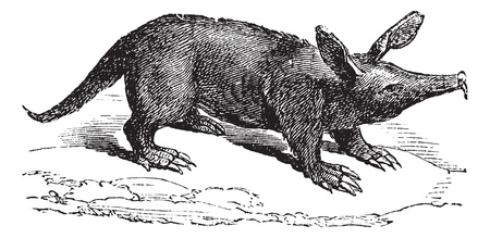 Aardvark or Orycteropus, vintage engraved illustration. Trousset encyclopedia (1886 - 1891). Stock Vector - 13770243