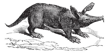 digging: Aardvark or Orycteropus, vintage engraved illustration. Trousset encyclopedia (1886 - 1891).