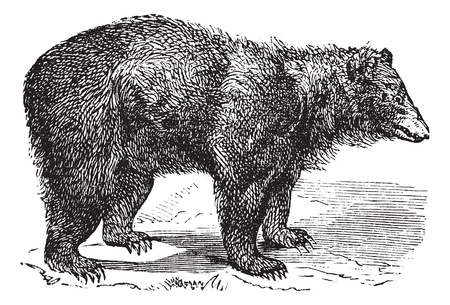 American Black bear (Ursus americanus), vintage engraved illustration.  Trousset encyclopedia (1886 - 1891).