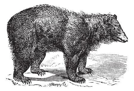 oso negro: American Negro oso (Ursus americanus), cosecha ilustraci�n grabada. Enciclopedia Trousset (1886 - 1891). Vectores