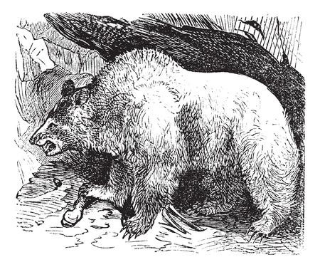 Syria bears (Ursus isabellinus), vintage engraved illustration. Trousset encyclopedia (1886 - 1891). Vector