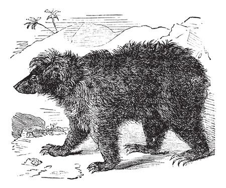 endanger: Asian bear (Ursus labiatus), vintage engraved illustration. Trousset encyclopedia (1886 - 1891).