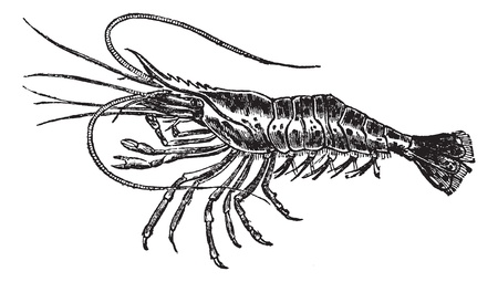 Common prawn or Palaemon serratus or Astacus serratus or Cancer captivus or Leander latreillianus or Leander serratus or Leander treillianus or Melicerta triliana or Palaemon oratelli or Palaemon punctulatus or Palaemon rostratus or Palaemon treillianus o