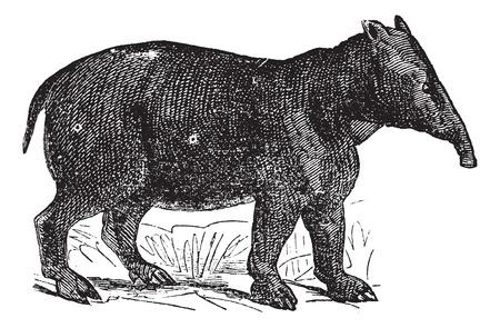 Palaeotherium、ヴィンテージの刻まれた図。Trousset (1886年-1891 年) の百科事典。