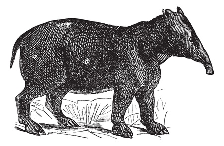 Palaeotherium, vintage engraved illustration. Trousset encyclopedia (1886 - 1891). Stock Vector - 13770815