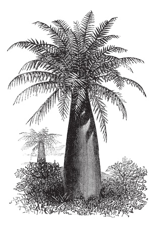 vulnerable: Chilean Wine Palm or Jubaea chilensis, vintage engraved illustration. Trousset encyclopedia (1886 - 1891).