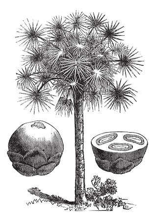 Sugar palm or Borassus flabellifer, vintage engraved illustration, showing whole fruit (left) and fruit cross-section (right). Trousset encyclopedia (1886 - 1891).