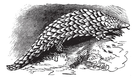 Chinese Pangolin or Manis pentadactyla, vintage engraving. Old engraved illustration of Chinese Pangolin. Stock Vector - 13770390