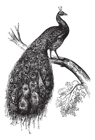 орнитология: Индийский павлин или Синий павлин или Pavo гребенчатого, старинные гравированные иллюстрации. Trousset энциклопедии (1886 - 1891).