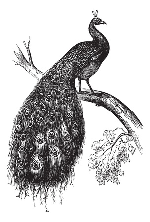 plumas de pavo real: Peafowl indio o el azul pavo real Pavo cristatus o, cosecha ilustración grabada. Enciclopedia Trousset (1886 - 1891).