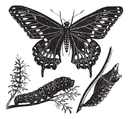 papilionidae: Black Swallowtail Butterfly or Papilio polyxenes, vintage engraved illustration. Trousset encyclopedia (1886 - 1891).