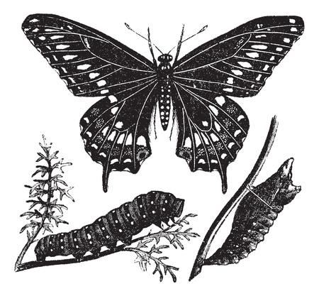 oruga: Negro Swallowtail o polyxenes Papilio, cosecha ilustración grabada. Enciclopedia Trousset (1886 - 1891).