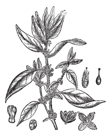 Lichwort 또는 Pellitory - 더 - 벽 또는 Parietaria는 오피, 빈티지 새겨진 된 그림. Trousset 백과 사전 (1886-1891).