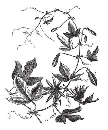 botanika: Passion Flower Passiflora caerulea nebo, vinobraní vyryto ilustrace. Trousset encyklopedie (1886-1891).