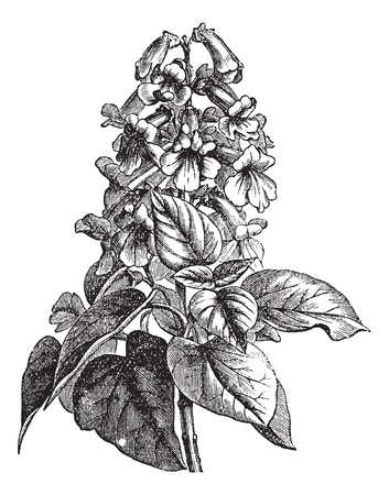 Paulownia of Paulownia sp., Vintage gegraveerde illustratie. Trousset encyclopedie (1886 - 1891).