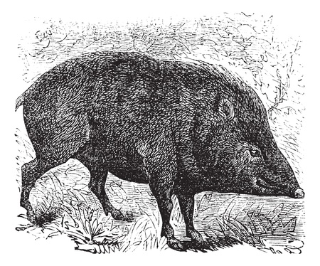 diurnal: Collared peccary or Pecari tajacu or Dicotyles tajacu or Tayassu tajacu or Musk hog or Mexican hog or Quenk, vintage engraving. Old engraved illustration of Collared peccary in the meadow.