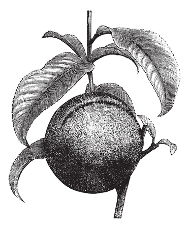 peach tree: Peach or Prunus persica, vintage engraved illustration. Trousset encyclopedia (1886 - 1891).