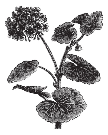 ornamental shrub: Geranium or Storksbill or Pelargonium sp., vintage engraved illustration. Trousset encyclopedia (1886 - 1891). Illustration