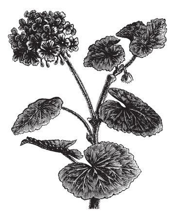 pelargonium: Geranium or Storksbill or Pelargonium sp., vintage engraved illustration. Trousset encyclopedia (1886 - 1891). Illustration