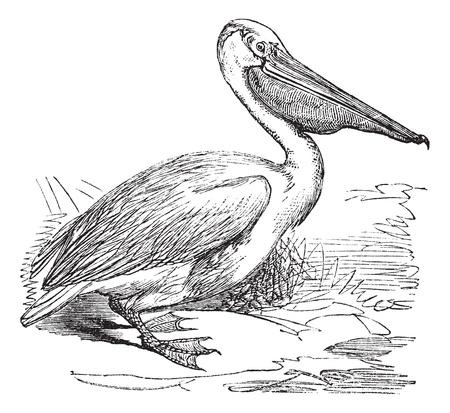 aquatic bird: Great White Pelican or Eastern White Pelican or Pelecanus onocrotalus, vintage engraved illustration. Trousset encyclopedia (1886 - 1891). Illustration