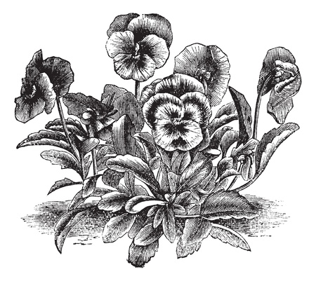 violas: Heartsease or Viola tricolor or Johnny Jump Up or Wild Pansy, vintage engraving. Old engraved illustration of Heartsease. Illustration