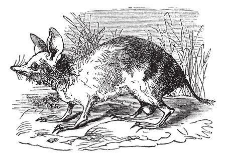 Eastern Barred Bandicoot or Perameles gunni, vintage engraving. Old engraved illustration of Eastern Barred Bandicoot in the meadow. Stock Vector - 13770768