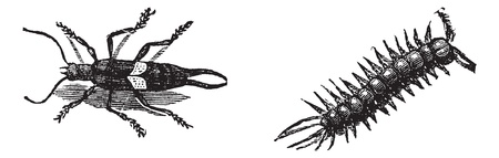 centipede: European Earwig or Forficula auricularia (left), and Brown Centipede or Lithobius forficatus (right), vintage engraved illustration. Trousset encyclopedia (1886 - 1891).