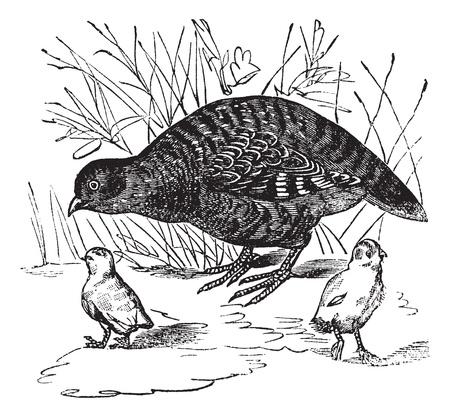 Grey Partridge or Perdix perdix, vintage engraved illustration. Trousset encyclopedia (1886 - 1891). 일러스트
